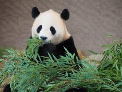 panda_free